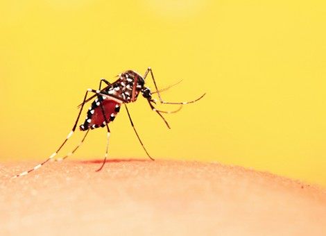 Mosquito sucking blood from people.
